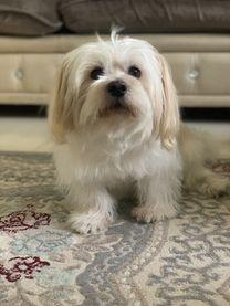 Maltese dog mix for sale