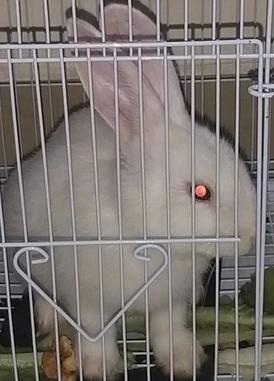 أرنب أبيض صغير للتبني