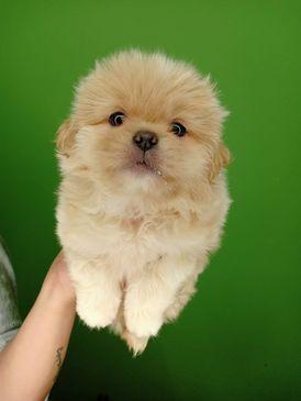 اجمل كلب ولد بيكنيز