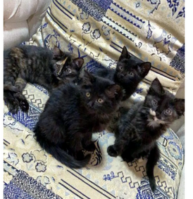 Four Persian kittens for sale 14