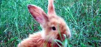 ارنب أنثى أليفة