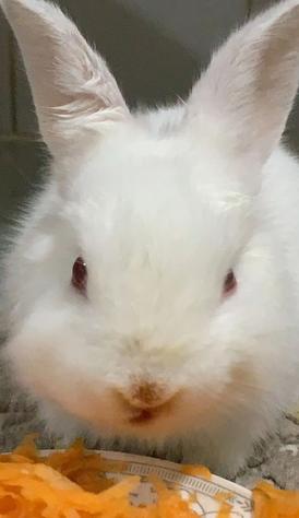 ارنب ابيض صغير