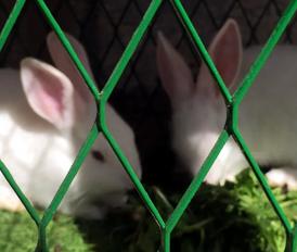 ارنب للبيع انثي وذكر