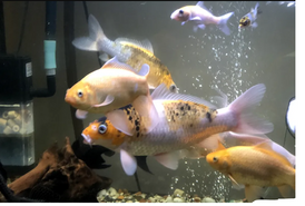 koi , comets and pelco for sale