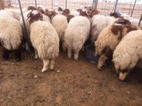 sheep for sale with free delivery all over Kuwait