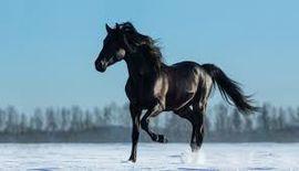 الحصان العربي لخدمات الفروسية