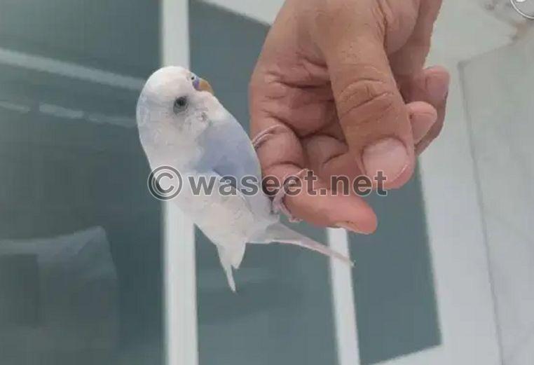 الطيور الهندية صديقة مع قفص 0