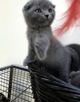 Scottish Fold kitten for sale