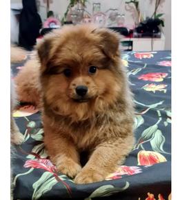 Pomeranian female for sale