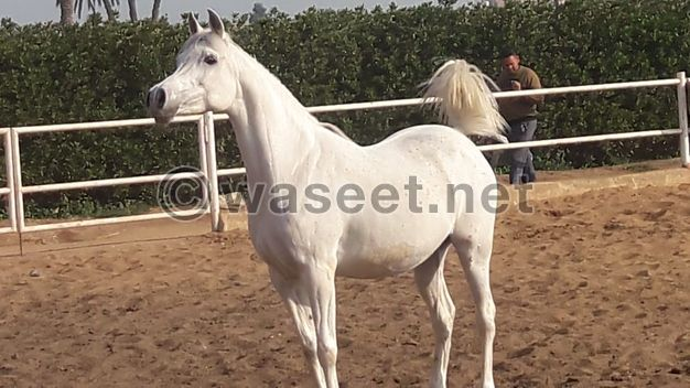 Arabian horses. There is a collection of authentic Egyptian Arabian horses for sale