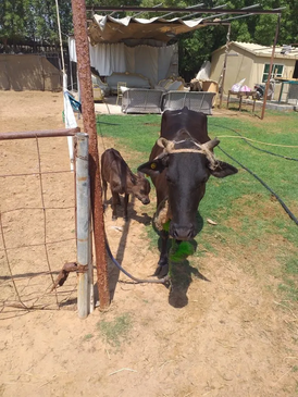 Cow with calf for sale 10