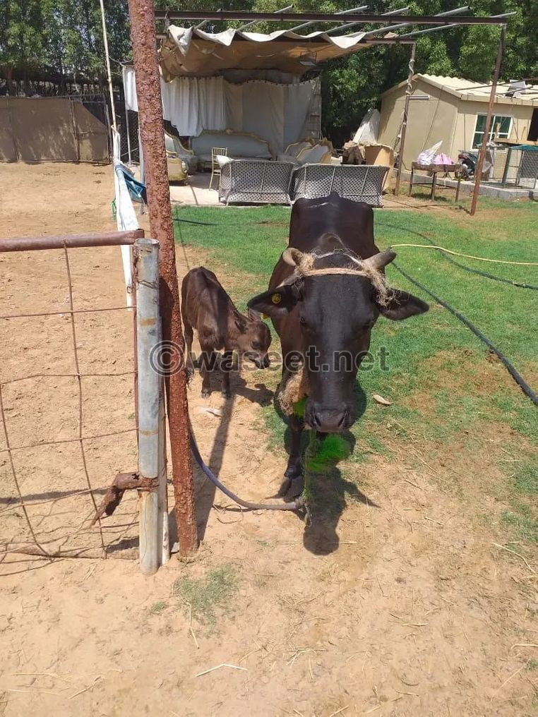 Cow with calf for sale 0