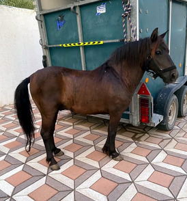 Castrated Argentine pony for sale