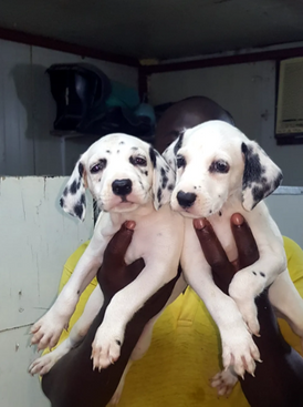 Denimation puppy for sale