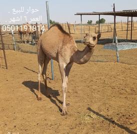 Camel for sale 5