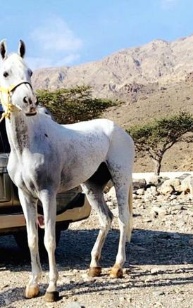 حصان ابيض للبيع