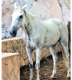 حصان جميل للبيع 3