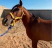 » حصان شعبي للبيع