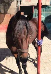 حصان عربى للبيع