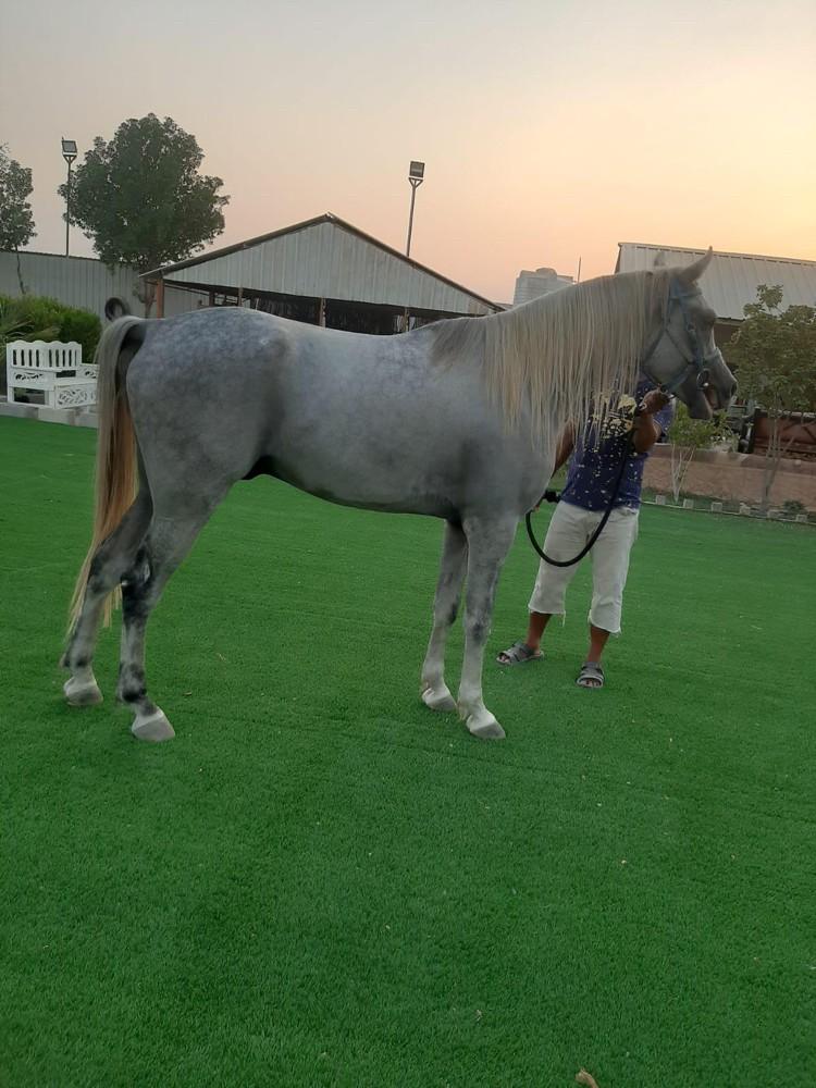 Rock stallion horse 5