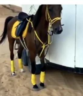 حصان قدره للبيع 1