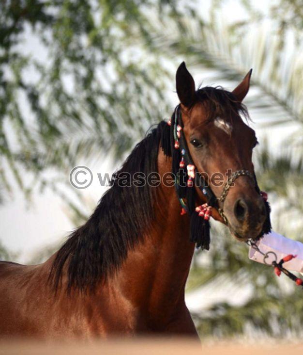 حصان للبيع جواز واهو