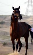 حصان للبيع جواز واهو 1