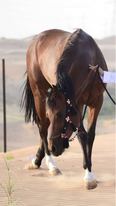 حصان للبيع جواز واهو 2