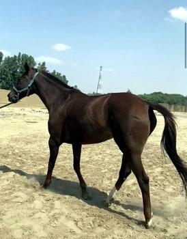 حصان للبيع 6