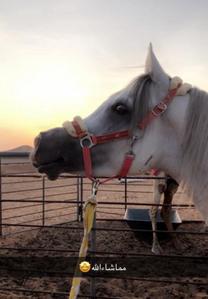حصان مصري بيور