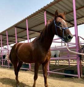 Training horses for sale