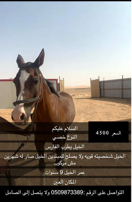 Neutered horses delight the jockey for sale