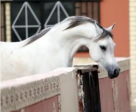 Arabian gamel horses for sale