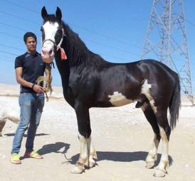 خيول للبيع من النوع الممتاز