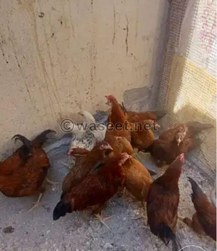 دجاج احمر فرنسي للبيع 0