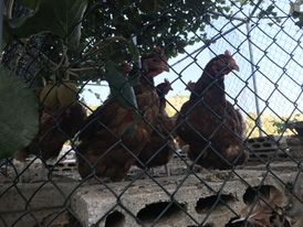 دجاج بلدي لون أحمر