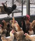 Local/French chicken for sale, 1