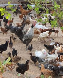 Local/French chicken for sale,