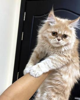 Male kitten pure persian