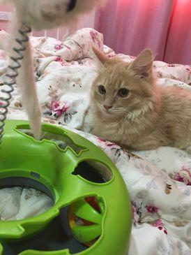 For sale Shirazi male cat