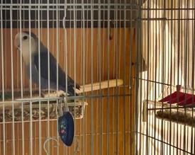 Male love bird 15