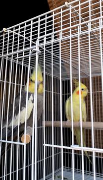 زوج طيور كوكتيل