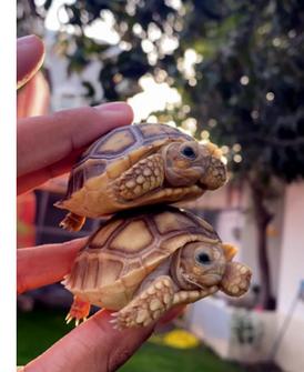 Selecta tortoises for sale 1