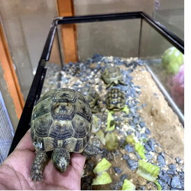 Syrian turtles for sale 13