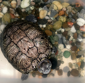 Turtle for sale 4