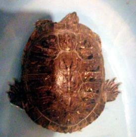 Amphibious turtle for sale 8