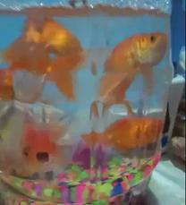 سمك دهبي جميل بالزينا