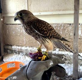 طير بوذوار ( شرياص ) للبيع