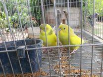 طيور حب زينة