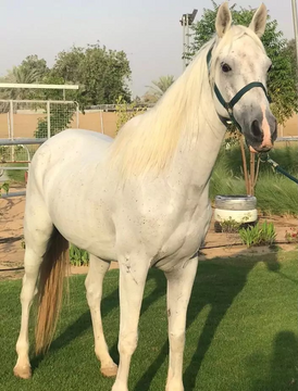 Two male horses for sale